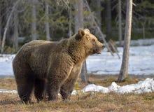 Brown Bear (Ursus arctos) in spring forest. Royalty Free Stock Photos