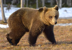 Brown Bear (Ursus arctos) in spring forest. Royalty Free Stock Photo