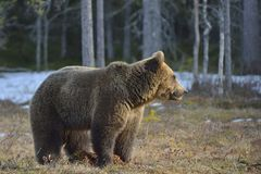 Brown Bear (Ursus arctos) in spring forest. Stock Photography