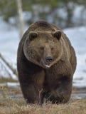 Brown Bear (Ursus arctos) in spring forest. Stock Photos