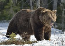 Brown Bear (Ursus arctos) in spring forest. Royalty Free Stock Images