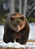Brown Bear (Ursus arctos) in spring forest. Stock Photo