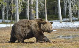Brown Bear Ursus arctos in spring forest. Dominant male of Brown Bear Ursus arctos in sunset light  on the swamp in spring forest Stock Photos