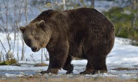 Brown Bear Ursus arctos in spring forest. Brown Bear Ursus arctos male on the bog in spring forest Stock Images