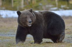 Brown Bear Ursus arctos in spring forest. Brown Bear Ursus arctos male on the bog in spring forest Stock Image