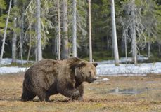 Brown Bear Ursus arctos in spring forest. Brown Bear Ursus arctos male on the bog in spring forest Stock Photos