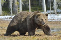 Brown Bear Ursus arctos in spring forest. Brown Bear Ursus arctos male on the bog in spring forest Royalty Free Stock Photo