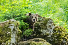 A brown bear, Ursus arctos, standing in front of a rock