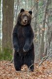 Bear standing on his hind legs in the autumn forest stock photos