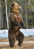 Brown bear (Ursus arctos) standing on his hind legs. On a bog in the spring forest Stock Images