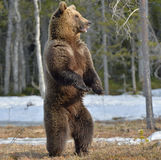 Brown bear (Ursus arctos) standing on his hind legs Royalty Free Stock Photos