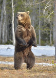 Brown bear (Ursus arctos) standing on his hind legs Royalty Free Stock Image