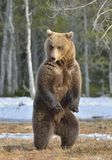 Brown bear (Ursus arctos) standing on his hind legs in spring forest. Royalty Free Stock Photos