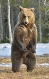 Brown bear (Ursus arctos) standing on his hind legs in spring forest. Brown bear (Ursus arctos) standing on his hind legs on a bog in the spring forest Stock Photos