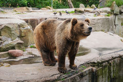 Brown bear Ursus arctos. Standing, side view Stock Image
