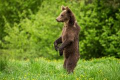 Brown Bear Ursus arctos standing royalty free stock photos