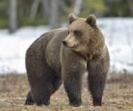 The Brown Bear Ursus arctos. On the swamp in spring forest Royalty Free Stock Image
