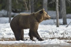 The Brown Bear Ursus arctos. On the swamp in spring forest Royalty Free Stock Images