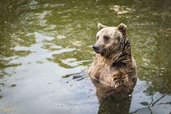 Brown bear Ursus arctos. Swimming in the lake Stock Photography