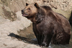 Brown bear (Ursus arctos). Brown bear (Ursus arctos) after swimming. Wild life animal Stock Photo