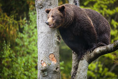Brown bear (Ursus arctos). On the tree Stock Photography