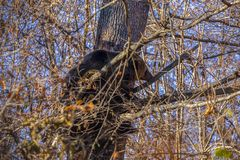 Brown bear,ursus arctos, on a tree. In the forest royalty free stock photo