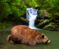 Brown Bear Ursus arctos Royalty Free Stock Photos