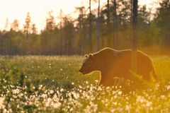 Brown bear (Ursus arctos) walking contra-sunset. Old brown bear (Ursus arctos) walking in sunset Royalty Free Stock Photos