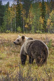 Brown Bear - Ursus arctos. Brown Bear walking in Nordic forest Royalty Free Stock Image