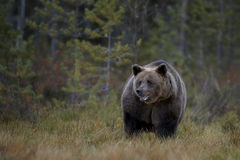 Brown Bear - Ursus arctos. Brown Bear walking in Nordic forest Royalty Free Stock Photo