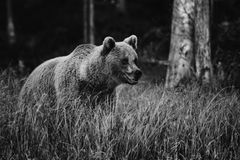 Brown Bear - Ursus arctos. Brown Bear walking in Nordic forest Royalty Free Stock Photos
