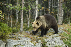 Brown Bear - Ursus arctos. Brown Bear walking in the Nordic forest Royalty Free Stock Photography