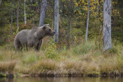 Brown Bear - Ursus arctos. Brown Bear walking in Nordic forest Stock Photo
