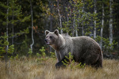 Brown Bear - Ursus arctos. Brown Bear walking in Nordic forest Royalty Free Stock Photography