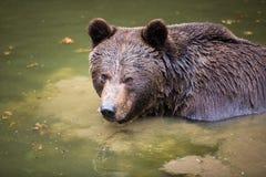 Brown bear (Ursus arctos) Royalty Free Stock Photo