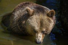 Brown bear - Ursus arctos Royalty Free Stock Photos