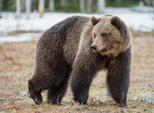 Brown Bear Ursus arctos. Wild Juvenile Brown Bear Ursus arctos on a bog in spring forest Royalty Free Stock Photography
