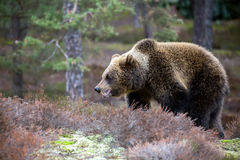 Brown bear (Ursus arctos) in winter forest Royalty Free Stock Photos