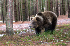 Brown bear (Ursus arctos) in winter forest Stock Photography