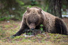 Brown bear (Ursus arctos) in winter forest Royalty Free Stock Image