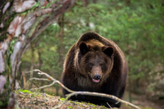 Brown bear (Ursus arctos) in winter forest Stock Images