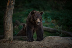 Brown bear (Ursus arctos). In the wood Royalty Free Stock Photos