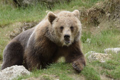 Brown bear (Ursus arctos). Young Brown bear (Ursus arctos) in a park in the North of Sweden stock photography