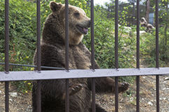 Brown bear (Ursus arctos) in the zoo begging for delicacy from the audience. Safari Park in resort city Gelendzhik stock photo