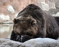 The Brown Bear. View of a brown bear resting Stock Image