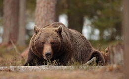Brown bear. stock photography