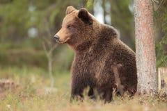 Brown bear. Stock Image