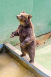 Brown bear waiting for food Royalty Free Stock Images