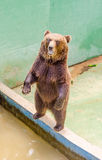 Brown bear waiting for food Royalty Free Stock Photography
