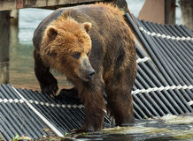 Brown bear waiting prey on fence to account for fish. Kurile Lake. Stock Photography